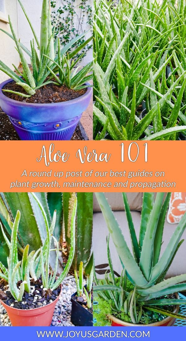 How To Take Care Of Aloe Vera Aloe Vera 101 A Round Up Of Aloe Vera Plant Care Guides Aloe Vera Plant Plant Care Aloe Plant Care