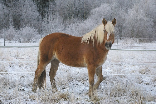 The Finnhorse, photo by Tuulan, via Flickr Finnhorses are great carriage horses due to their strength and calm nature.
