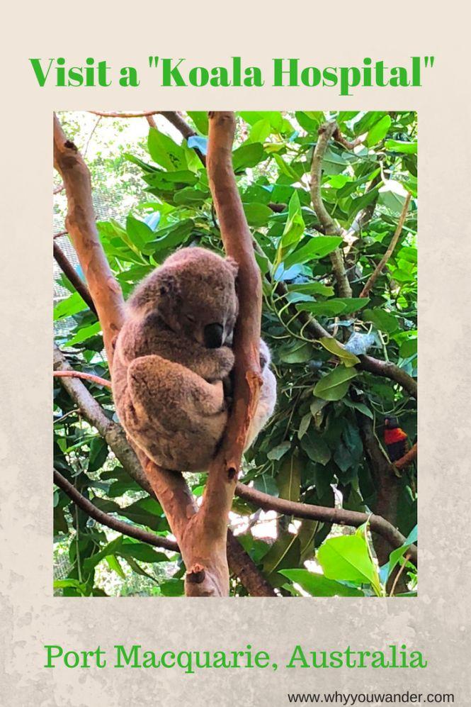 Visiting Koala Hospital at Port Macquarie, Australia   Why You Wander