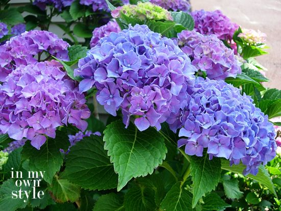 How to Turn Hydrangeas Pink or Blue