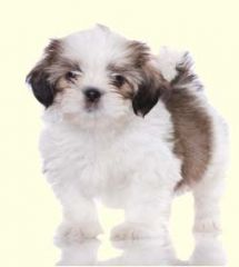 Shorkie Puppies For Sale In DE MD NY NJ Philly DC and Baltimore - Greenfield Puppies