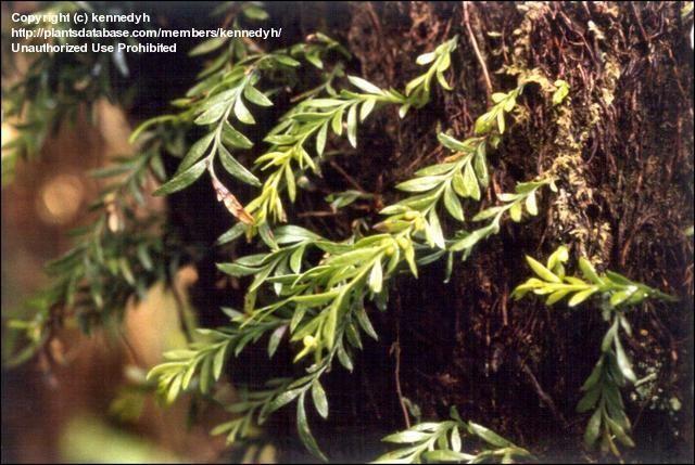 Oval Fork-fern (Tmesipteris ovata)