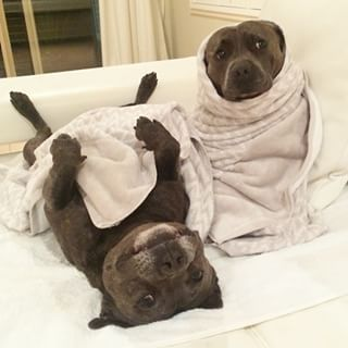 …or your cuddle time… | Uh Oh, You're Gonna Fall In Love With These Pit Bull Brothers