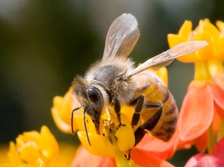Do you know why bees make a 'buzzing' noise? It's been discovered that bees can beat their wings up to 200 times per second as they fly! This rapid wing movement causes the buzzing sound we famously associate with bees. Aren't they such fascinating little creatures! #facts