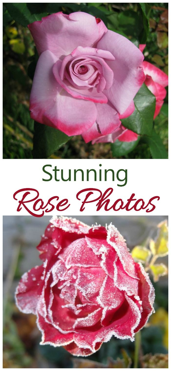 Amazing Rose Photos for Americaus Most Popular Plant Top Blogs