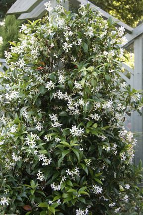How I miss the sweet fragrance of Jasmine on a warm breezy summer nights from my childhood in the Philippines♥