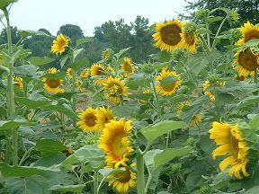 Chester County sunflower fields 4317 S. Creek Rd. Chadds Ford, PA 19317