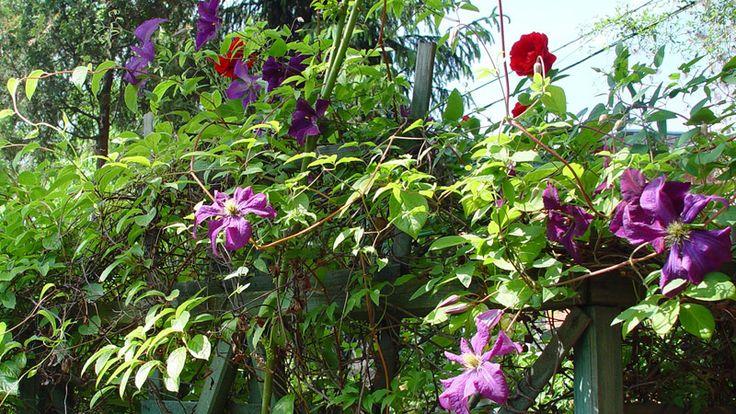 Róże pnące w ogrodzie? Kiedyś znajomy ogrodnik wpoił mi, że mam zapamiętać tylko tyle, iż róże pnące oczywiście występują w różnych odmianach, ale zawsze...