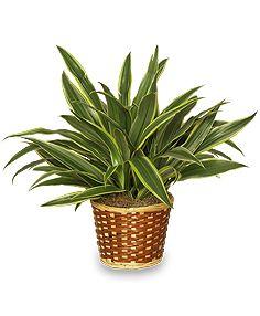 Best 25 Dracaena Plant Ideas On Pinterest