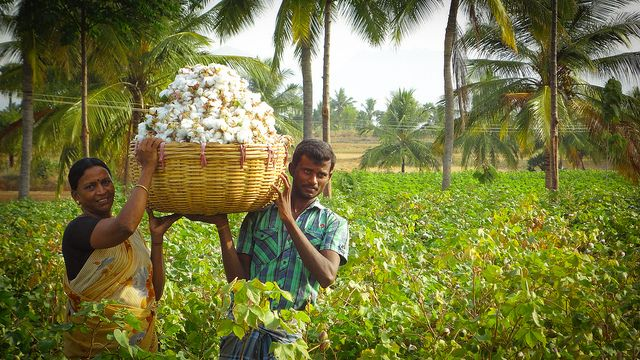 Indian cotton farmers harvesting their crop.