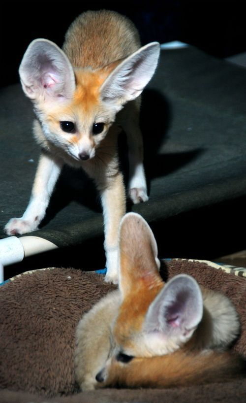 Lulu and Roscoe are the precious fennec fox kits born in January of 2012 at our Milwaukee County Zoo.