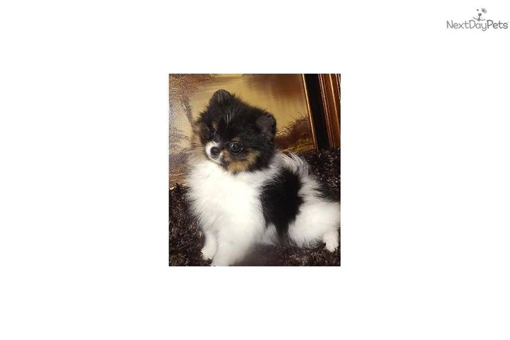 pomeranian puppy michigan best 25 teddy bear pomeranian ideas on pinterest teacup 2838