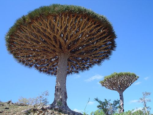 The tree in these photos is known as the Dragon's Blood tree and it is a rare type of tree that originates on a small group of four islands in the Indian Ocean. The tree contains a beautiful red sap which is called Dragon's Blood that has been used as a medicine to treat a variety of ailments and can supposedly increase the potency of witchcraft spells for sexuality, banishing, love, and protection