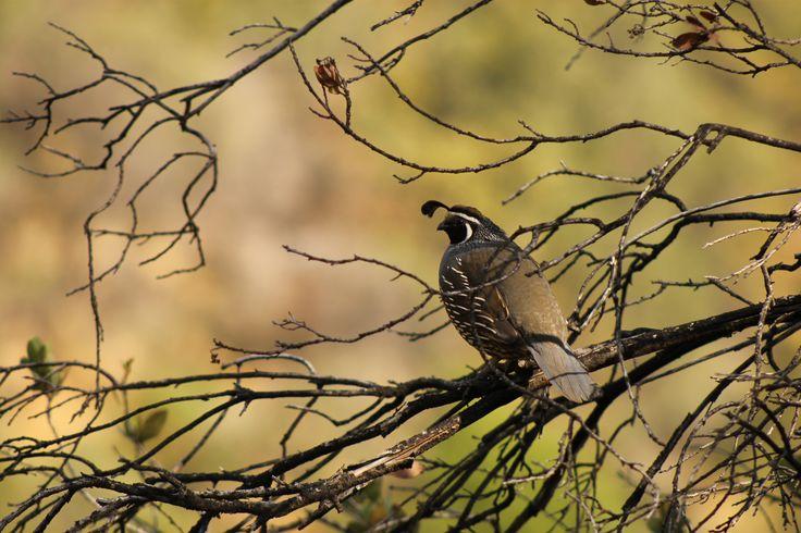 Codorniz Chilena en Santuario de la Naturaleza del Arrayán #recorre #outdoor