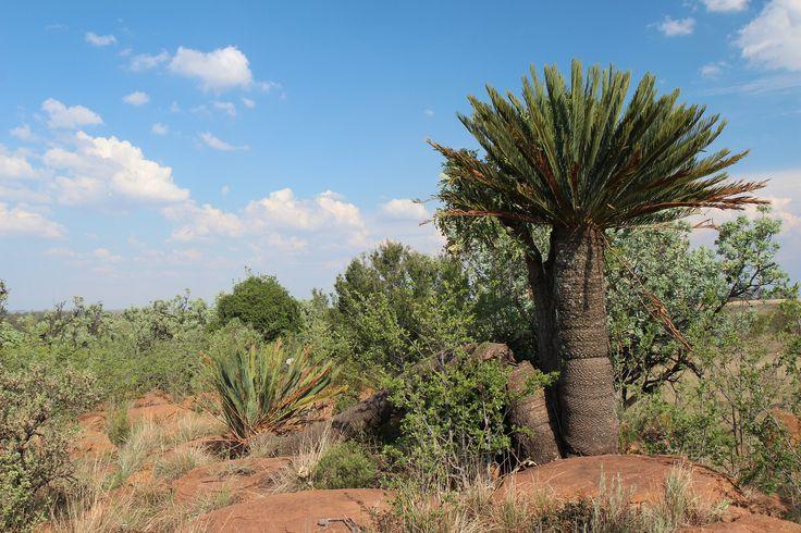 Encephalartos middelburgensis | von walksimos