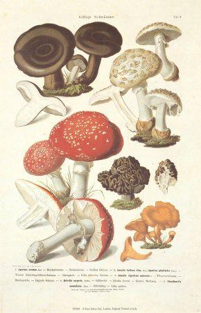 Antique Mushroom School Chart Vintage By VintageSchoolCharts