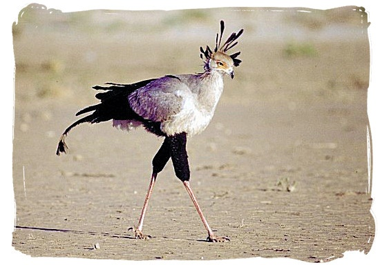 Apparently this bird is on the South African coat of arms.....  Google Image Result for http://www.south-africa-tours-and-travel.com/images/secretary-bird-southafricancoatofarms.jpg
