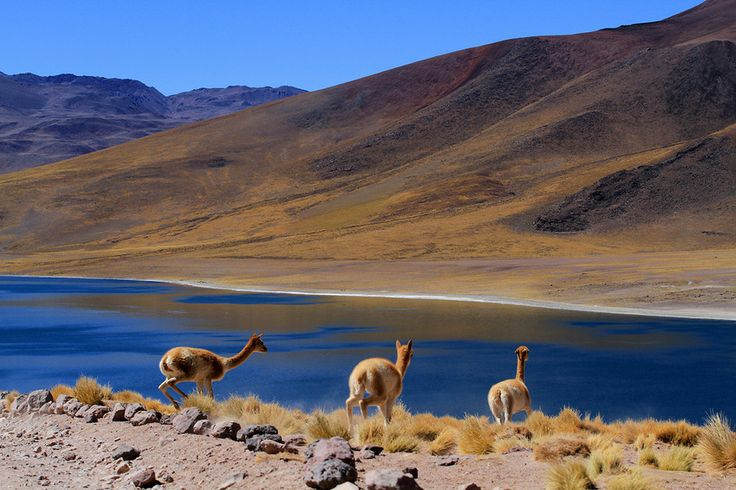 Some VICUGNAS- in Laguna Miscanti  (partial view)  Atacama Desert, CHILE----Vicugna is one of 2 wild South American camelids, along with the Quanaco, which live in the high alpine areas of the Andes.