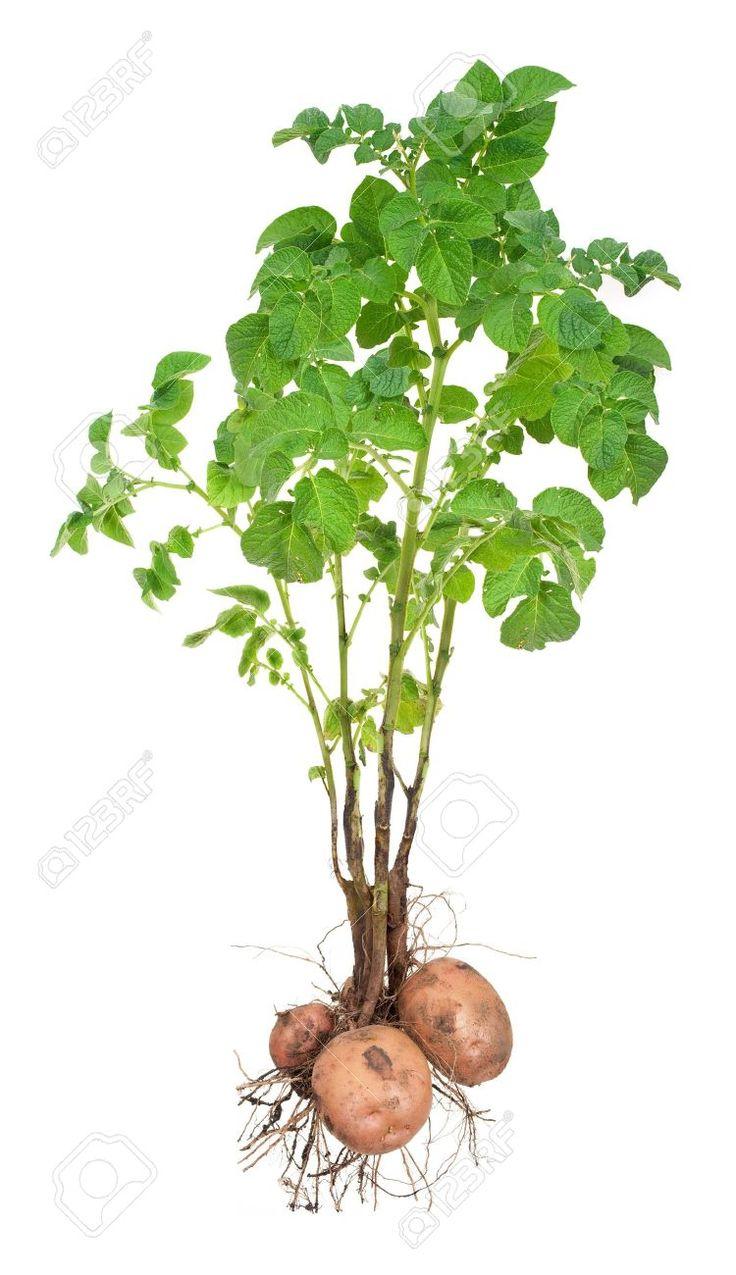 papa dibujo botanico