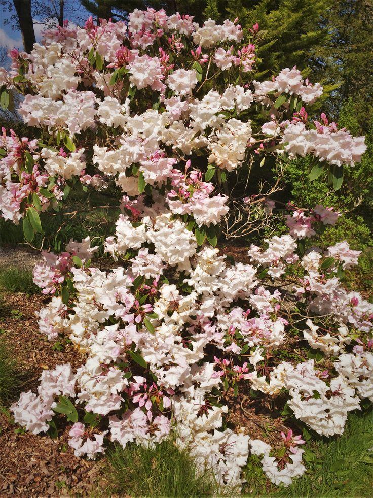 Rhododendron 'Sidney Pearce' at Bryngwyn Gardens