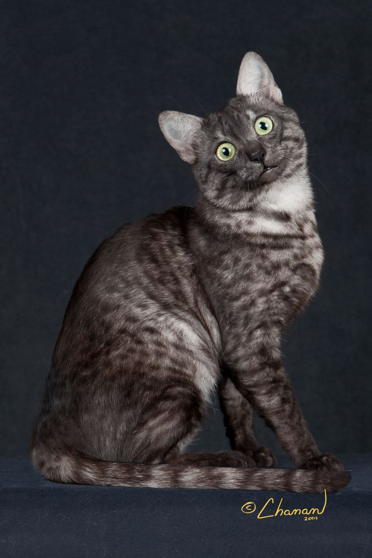 the 25 best egyptian mau ideas on pinterest egyptian