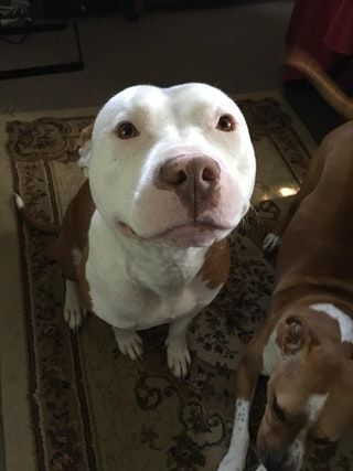 Happy Tuesday from Sir! : pitbulls