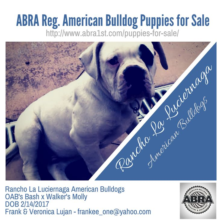 Rancho La Luciernaga American Bulldogs OAB's Bash x Walker's Molly DOB 2/14/2017 Frank & Veronica Lujan - frankee_one@yahoo.com http://www.abra1st.com/puppies-for-sale/  ABRA Registered American Bulldog Puppies For Sale