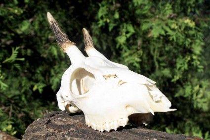 Grandle, czyli szczątkowe kły znajdujące się w górnej szczęce jeleni, niezwykle rzadko występują także u saren. Mają jednak inną budowę morfologiczną.
