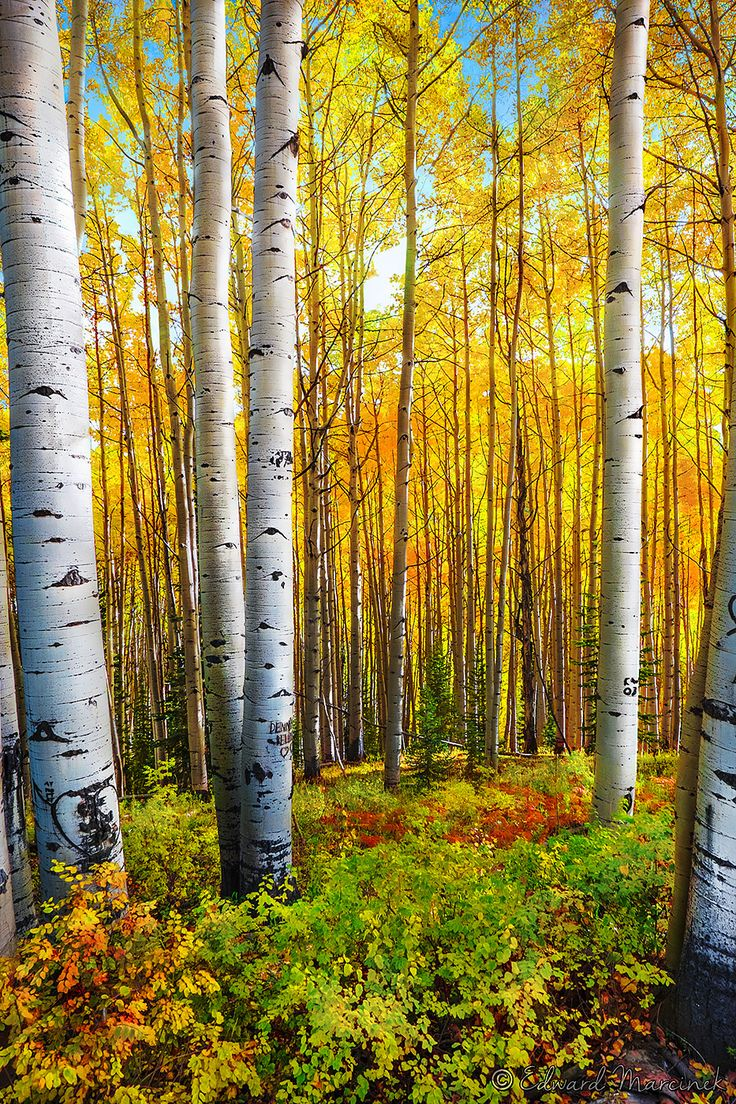 ~~Trees of Gold | Aspen Trees, Kebler Pass, Colorado | by Edward Marcinek~~