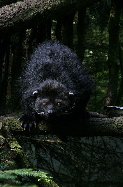 23 best Binturong bearcat images on Pinterest Wild animals