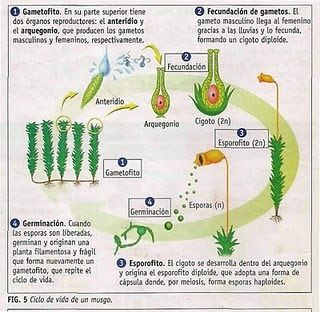 Reproducción alternante en Musgos     Reproducción alternante en Helechos    Fases de la reproducción en las plantas con flores      ...