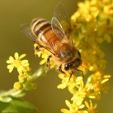 honeybee - a work of art! several graphics, pics, etc here