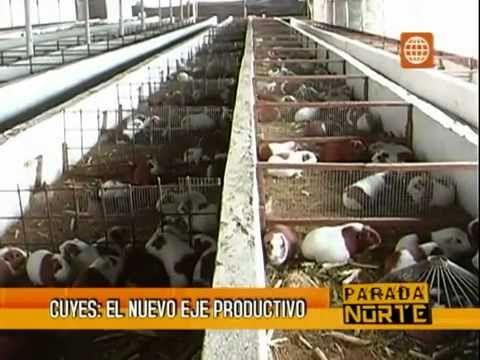 Crianza de Cuyes, cria de cuy, crianzas de cuy, reportaje a Granja Valle...