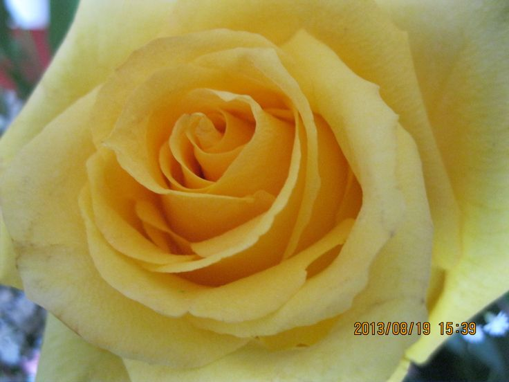 BEAUTIFUL, BUTTERY, ROSE BUD - LOVE MY BIRTHDAY BOUQUET!