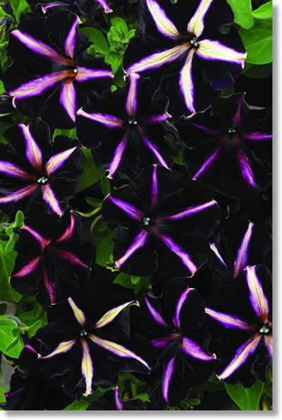 Haar's Nursery - Petunia Twilight