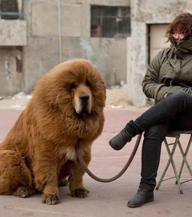 Esse Mastim Tibetano é um dos maiores cachorros do mundo, e seu preço gira em torno de um milhão de euros