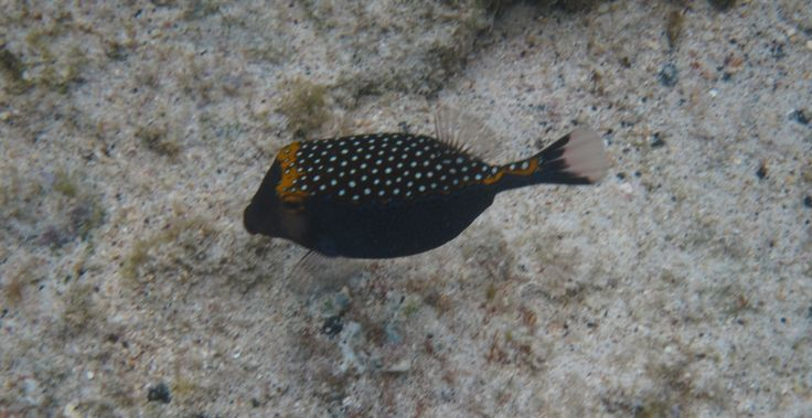 Male spotted box fish. Beautiful blue sides with irregular spots on top.