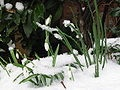 Snow drop - beautiful flower with beautiful stories behind it