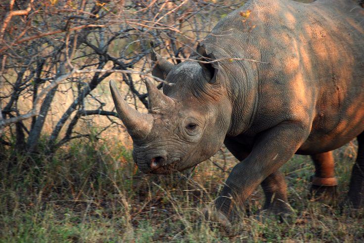 Black rhino, Kruger National Park
