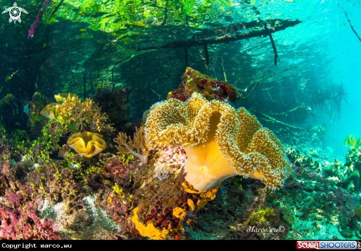The treasures of mangroves - Coral in Raja Ampat - Indonesia