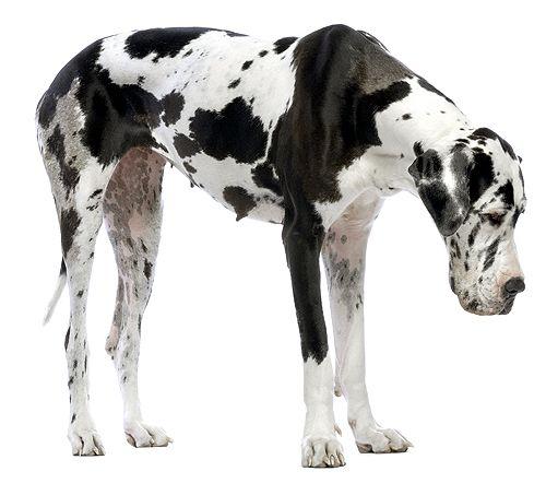 Great Dane Temperament and Behavior | Pet Research