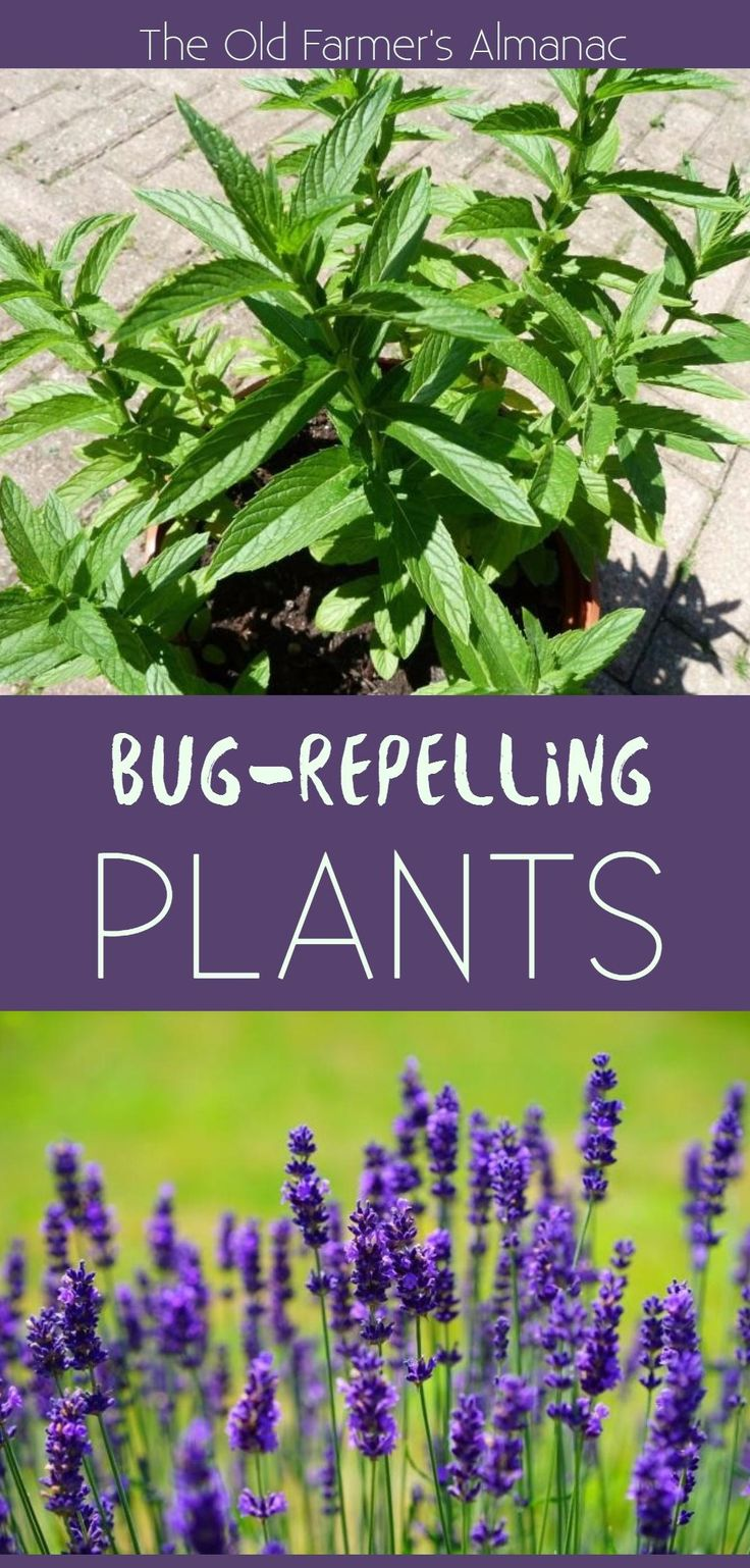 Plants That Repel Mosquitoes and Other Insects Plants