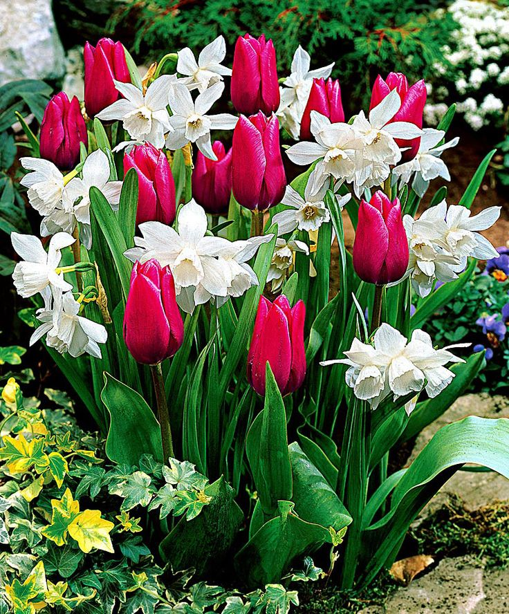 Thalia daffodils Tulips Christmas Marvel - Bulb flowering