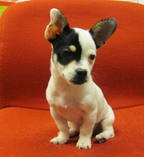 Jack Chi Dog Breed Information and Pictures