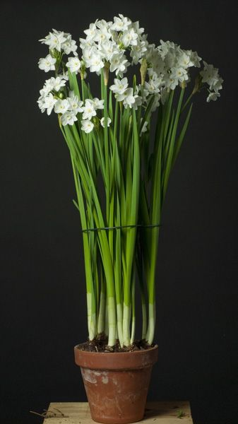 Paperwhites in a clay pot, found on Pinterest