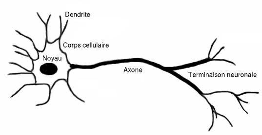 Le système nerveux et un circuit électrique