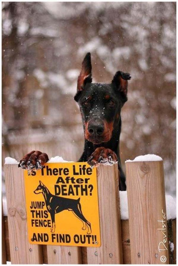 Dobie !': Funnies Pictures, Dogs Stuff, Dogs Signs, Dobermans Pinscher, I Dare You, Watches Dogs, Bewar Of Dogs, Big Dogs, Funnies Signs