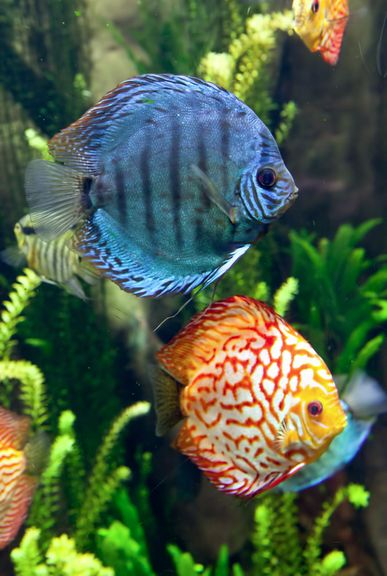 153 best freshwater tropical cichlids discus images on for Best freshwater aquarium fish