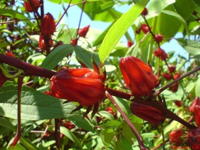 Resep manisan Bunga Rosella, di balik indahnya bunga rosella ternyata memiliki segudang manfaat untuk kesehatan, selain itu bunga rosella dapat di olah menjadi manisan