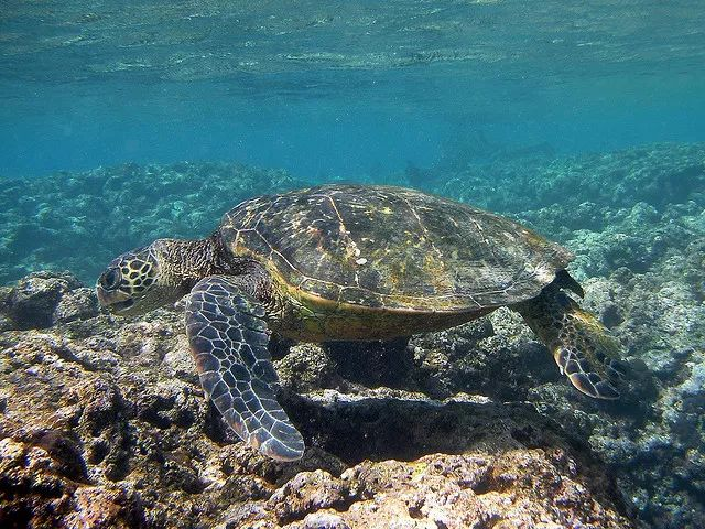 Tortugas marinas, todo sobre las 7 especies de tortugas.
